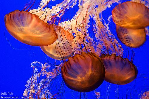 Jellyfish-gulf