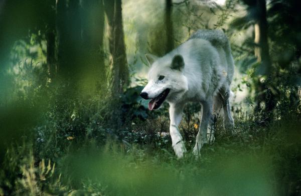 White-wolf-steve-somerville