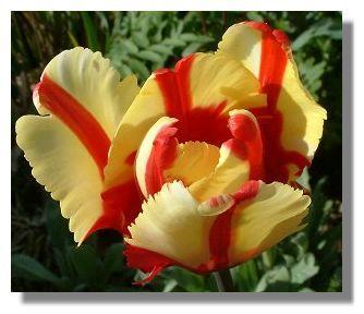 Tulip_finlay