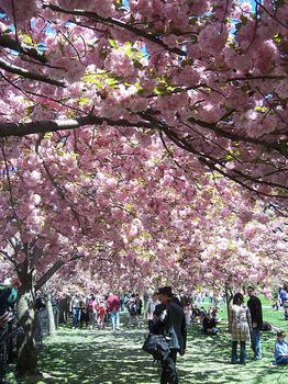 Cherrytrees_2